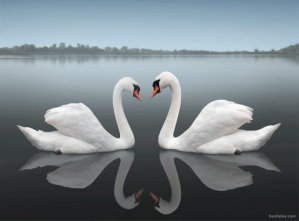 Swans reflecting