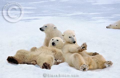 Polar bears relaxing, Manitoba, Canada. Polar bear (Ursus maritimus)